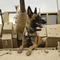 366856-Malinois,Belgian Shepherd,war,military,dogs,tanks
