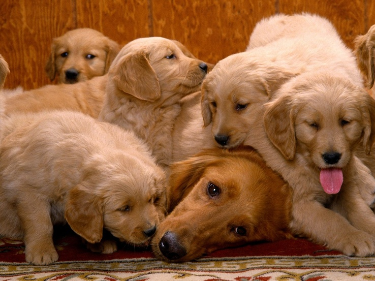 1708856-day,dogs,pets,golden retriever,animals.jpg