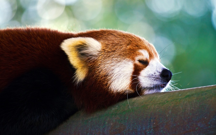 1710685-trees,animals,red pandas.jpg
