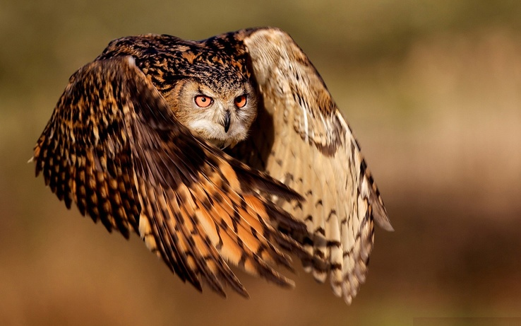 1712513-nature,flying,birds,animals,owls.jpg