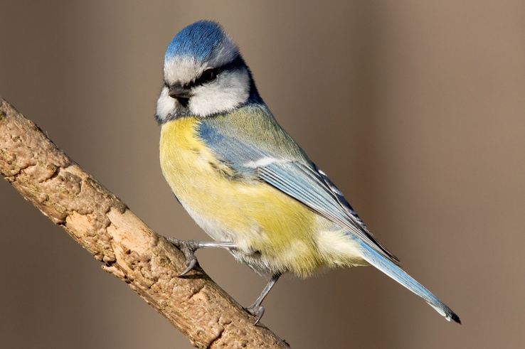 1720511-birds,blue tit.jpg