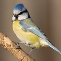 1720511-birds,blue tit