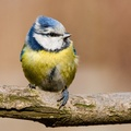1720514-blue tit,birds