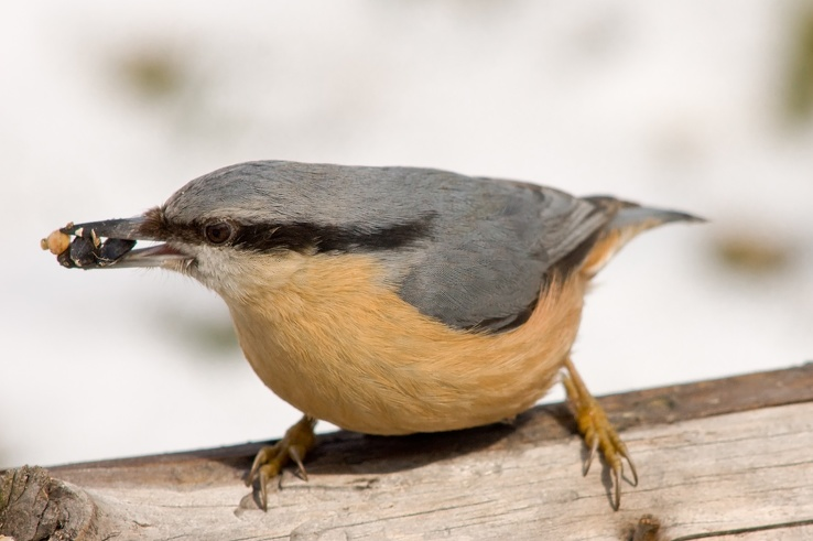 1720518-birds,Nuthatch.jpg