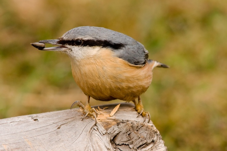 1720519-birds,animals,Nuthatch.jpg