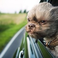 1722030-funny,shihtzu,animals,wind,dogs