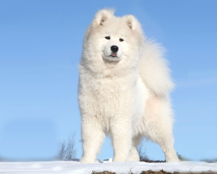 1723035-snow,white,animals,dogs,Samoyed.jpg