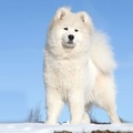 1723035-snow,white,animals,dogs,Samoyed