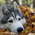1723432-animals,leaves,dogs,fallen leaves