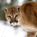 1727748-cougars,Montana,winter,animals
