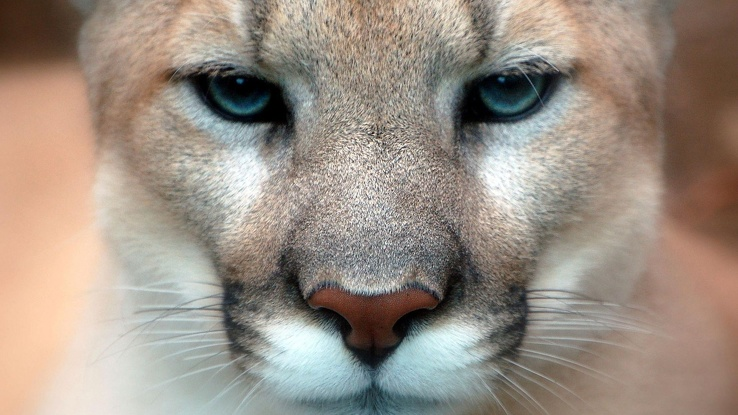 1727966-close-up,animals,puma,cougars,faces,mountain lions.jpg