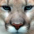 1727966-close-up,animals,puma,cougars,faces,mountain lions