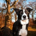 1729077-border collies,collie,forest,animals,dogs