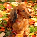 1729504-animals,dogs,dachshund,hound