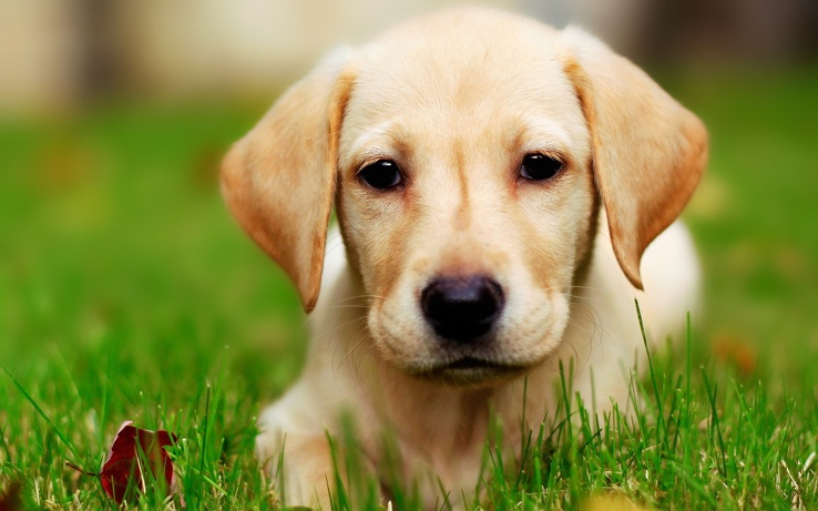 1729520-dogs,Labrador Retriever,eyes,yellow,animals.jpg
