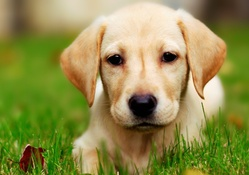 1729520-dogs,Labrador Retriever,eyes,yellow,animals