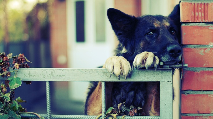 1729522-eyes,animals,dogs,German Shepherd,paws,bored.jpg