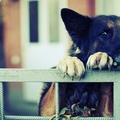 1729522-eyes,animals,dogs,German Shepherd,paws,bored