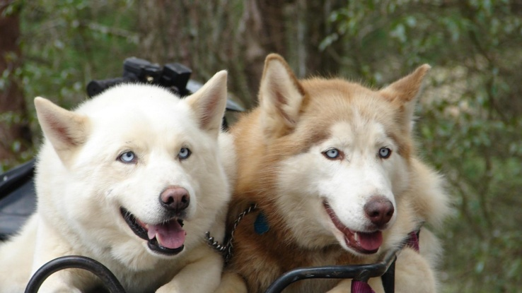 1729524-eyes,animals,dogs,husky.jpg