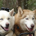 1729524-eyes,animals,dogs,husky