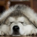 1732392-sleeping,paws,animals,dogs,husky