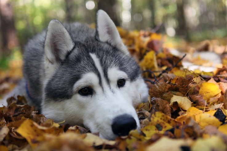 1733913-animals,dogs,husky,fallen leaves.jpg