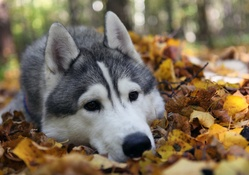 1733913-animals,dogs,husky,fallen leaves