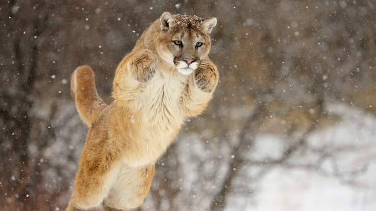 1737490-animals,cougars,hunt.jpg