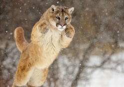 1737490-animals,cougars,hunt