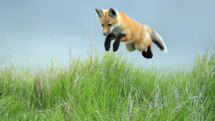 1737492-red,animals,hunt,foxes.jpg