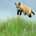 1737492-red,animals,hunt,foxes
