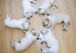 1737752-funny,puppies,sleeping