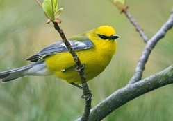 1743233-trees,birds,depth of field,branches,Warblers