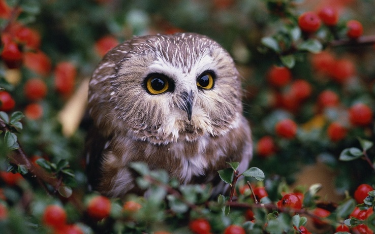 1743250-berries,owlet,birds,animals,owls,macro.jpg