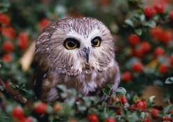 1743250-berries,owlet,birds,animals,owls,macro