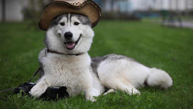 1743381-funny,husky,animals,dogs.jpg