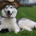 1743381-funny,husky,animals,dogs