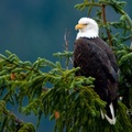1743928-nature,trees,birds,eagles,depth of field