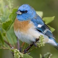 1751082-nature,birds,leaves,plants,macro,depth of field,Lazuli Bunting
