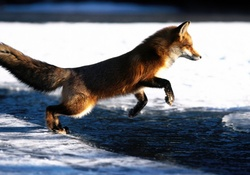 1755872-foxes,water,ice,animals,jumping,mammals