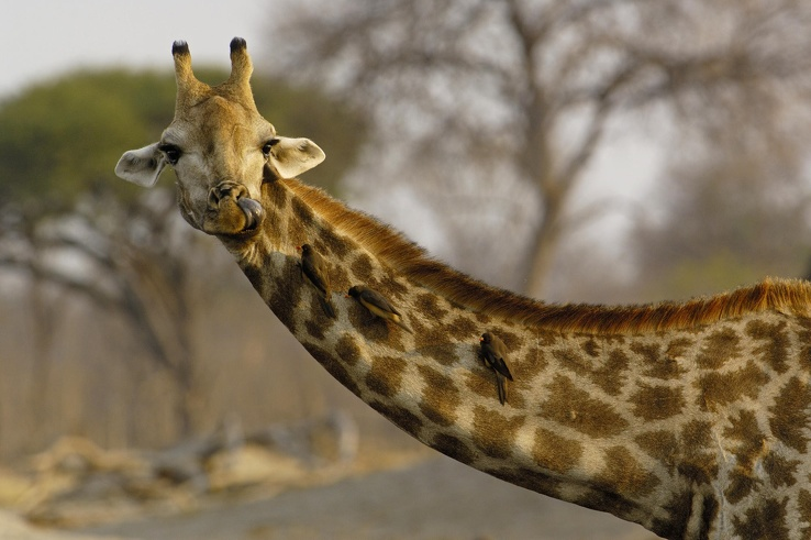 1756247-animals,Africa,giraffes.jpg