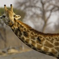 1756247-animals,Africa,giraffes