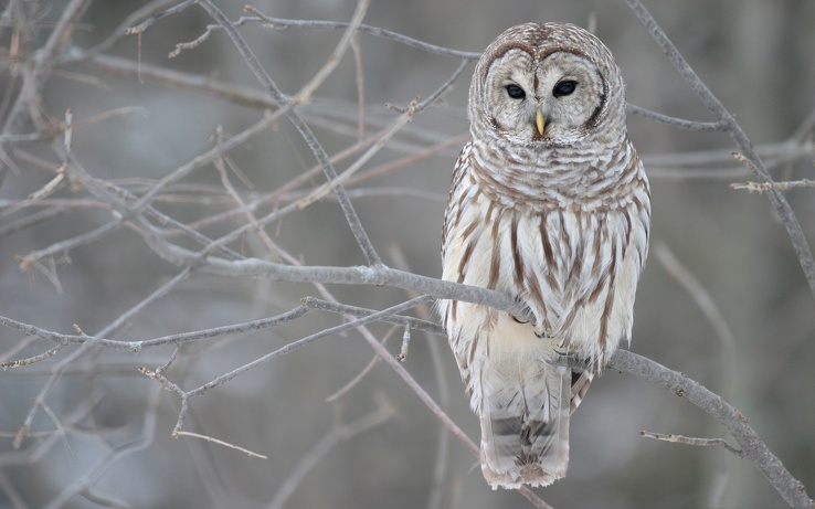 1763851-birds,owls,white owl.jpg