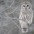 1763851-birds,owls,white owl