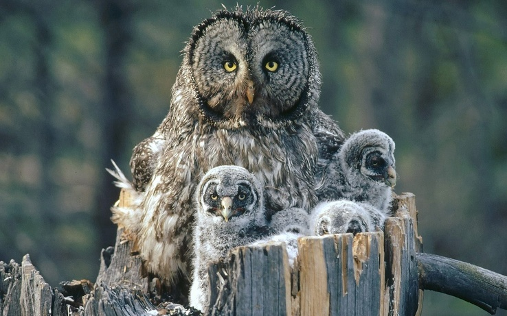 1770773-birds,family,owls,backgrounds,baby birds.jpg