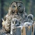 1770773-birds,family,owls,backgrounds,baby birds