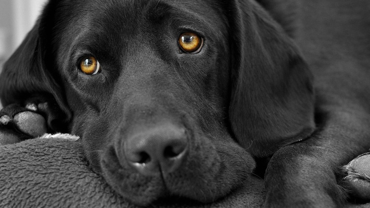 1771303-dogs,fur,grayscale,pets,black and white,black,animals.jpg