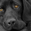 1771303-dogs,fur,grayscale,pets,black and white,black,animals