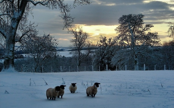 1774721-winter,snow,sheep.jpg
