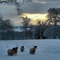 1774721-winter,snow,sheep